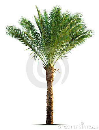 Free Palm Tree Royalty Free Stock Photography - 7949307