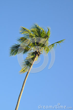 Palm tree against blue tropical sky in the breeze