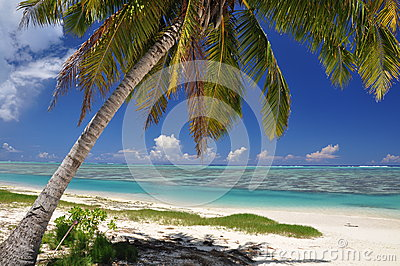Palm tree on Aitutaki - Cook Islands