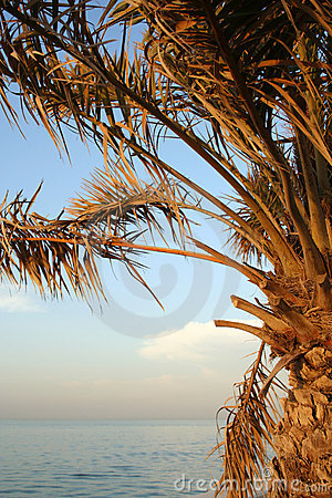 Palm tree by arabian sea