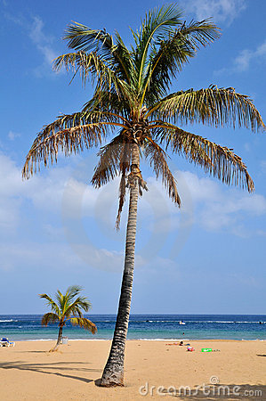 Palm tree on beach at tenerife