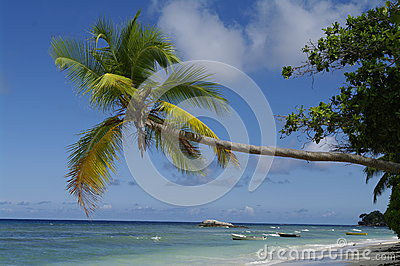 Palm tree at Beau Vallon beach, Seychelles