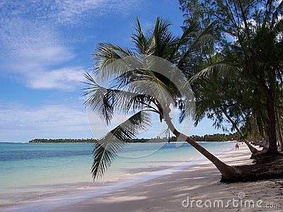 Palm tree Caribbean beach