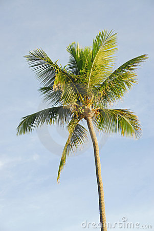 Palm tree (coconut)