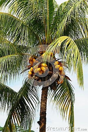 Palm tree coconuts