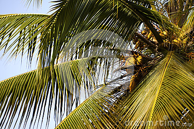 Palm tree with coconuts.