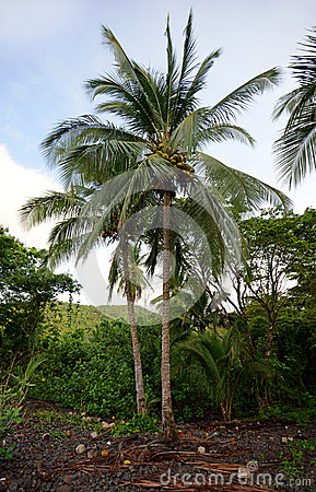 Palm tree with coconuts in tropical destination