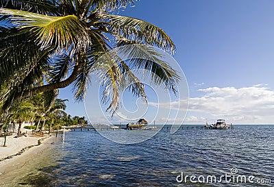 Palm tree in Caye Caulker, Belize