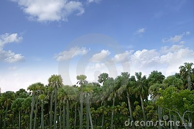 Palm tree forest in Florida  blue summer tropical