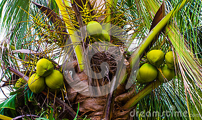 Palm tree with green coconuts