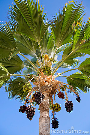 Palm tree with hanging clusters