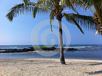 Palm tree at Honokohau Harbor Beach in Big Island Hawaii