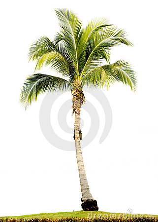 Free Palm Tree Isolated Royalty Free Stock Photos - 2578138