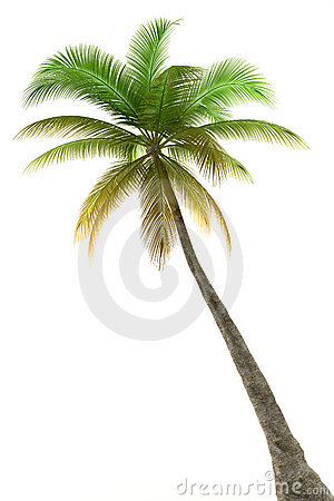 Free Palm Tree Isolated On White Background Royalty Free Stock Photos - 8627418