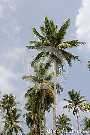Palm tree Kh Pha Nang Thailand.