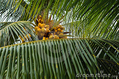 Palm tree leaf and coconuts