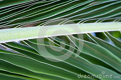 Palm tree leaf macro picture