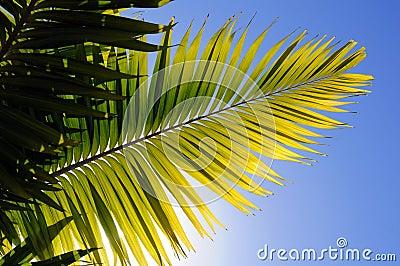 Palm Tree Leaver