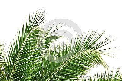 Palm Tree Leaves