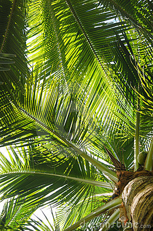 Palm tree leaves with coconuts