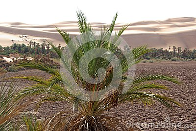 Palm tree, Libya
