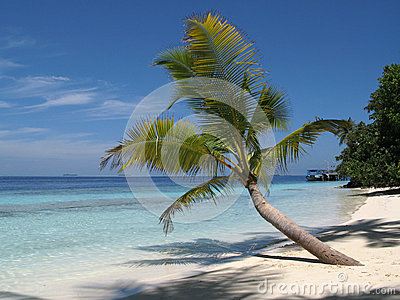 Palm Tree in the Maldives
