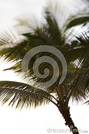 Palm tree in Maui, Hawaii.