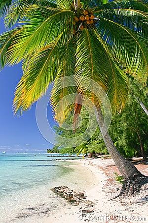 Palm tree, Moorea