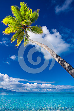 Palm tree on Moorea Island hanging over lagoon