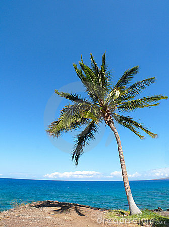 Palm tree near Kauna oa Beach
