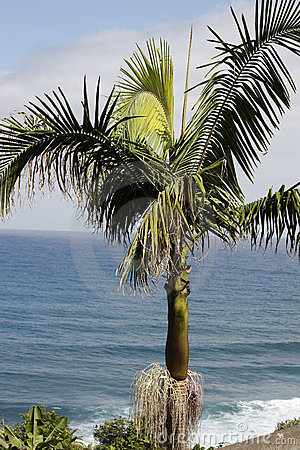 Palm tree on the ocean