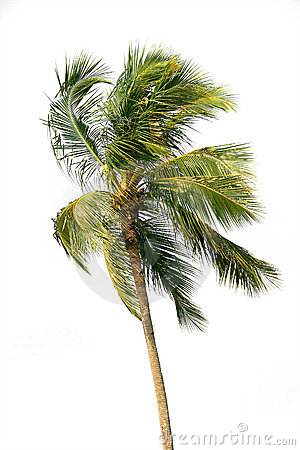 Palm tree over white
