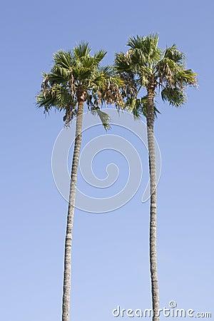 Palm Tree Pair