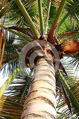 Palm Tree - Puerto Rico