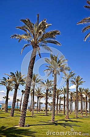 Palm tree row
