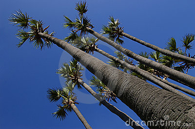 Palm tree of superiority