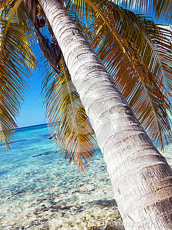 Palm tree at tropical beach in Dominican republic.