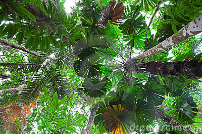 Palm tree tropical rain forest canopy Australia