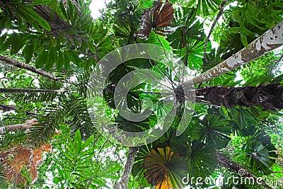 Palm tree tropical rain forest canopy Australia