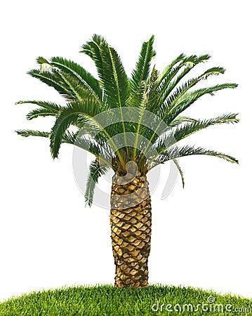 Palm tree on white