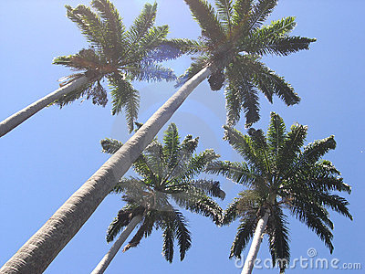 Palm Trees Royalty Free Stock Photo - Image: 31185