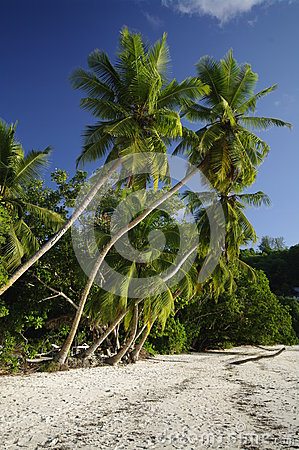 Palm trees at Anse Gaulettes, Seychelles