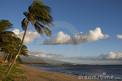 Palm trees on the beach Maui