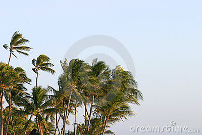 Palm Trees Blowing in the Wind Stock Photo