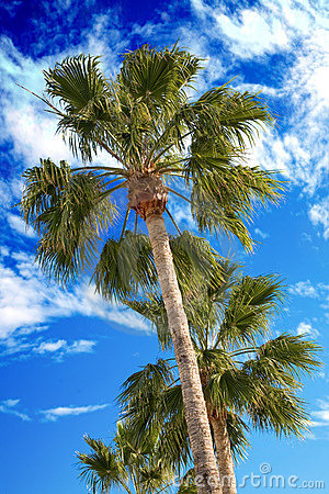 Palm trees on a blue sky