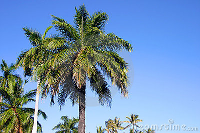 Palm Trees and Blue Sky in Hawaii Stock Photo