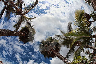 Palm-trees on the cloudy-blue sky