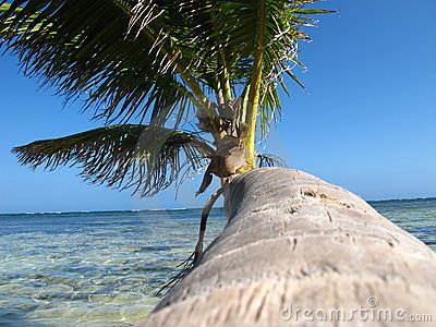 Palm trees with coconut