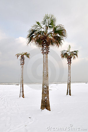 Palm Trees Covered With Snow Stock Photos Image 19271743