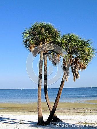 Palm trees on Florida beach